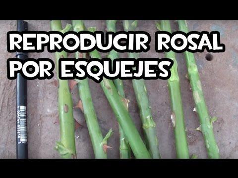 Cómo reproducir Rosales por esquejes