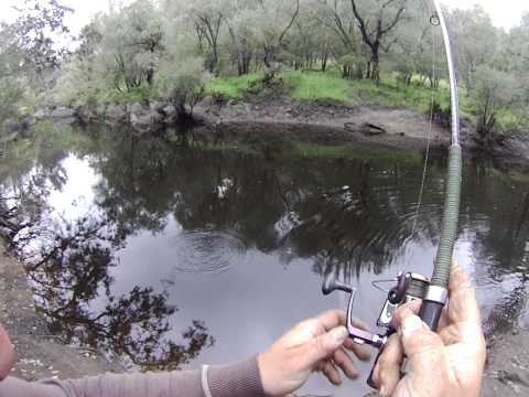 Western Australian Jumbo Redfin  Perch With Australis Fishing And WSB Tackle
