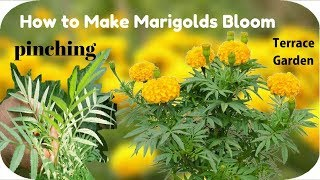 Increasing Your Marigolds Blooms //Pinching Out Marigolds -[TERRACE GARDEN]