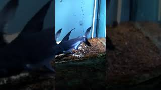 Benim abimin çalınır köpek balı