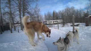 Husky dating, will there be war or not.