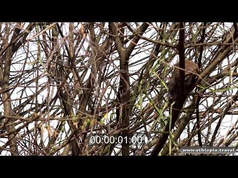 Ethiopia - Unknown animal