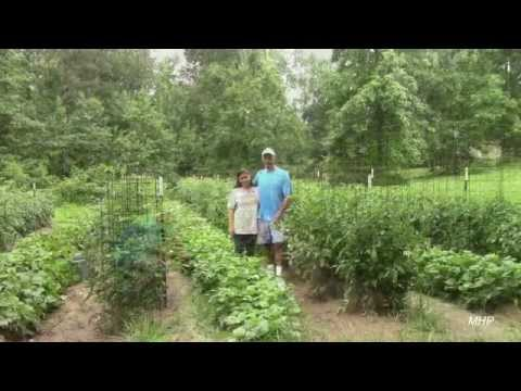Growing Green Beans - How to Get Good Production