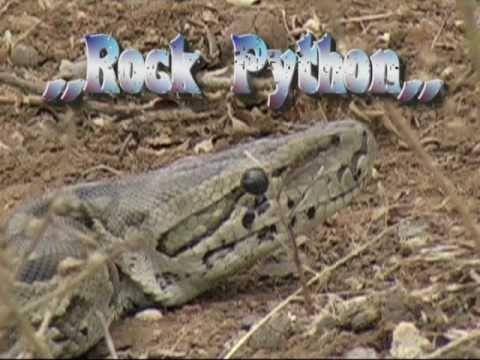 African Rock Python.KrugerPark