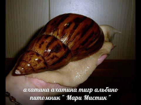 "КАК ЛЕЧИТЬ РАКОВИНУ УЛИТОК = АХАТИН , АРХАХАТИН  ( ПИТОМНИК ""МАРИ МИСТИК"" )"