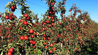 Apple Harvest and How to make Apple Juice in Factory, Apple juice production line