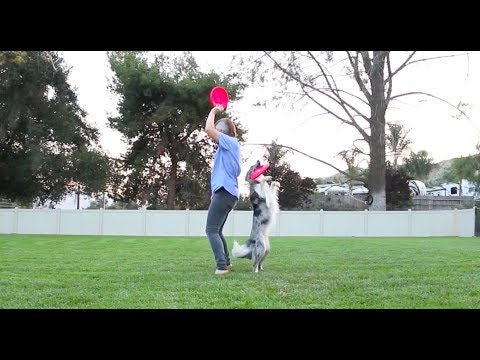 EPIC Dog Tricks performed by Wish the Border Collie