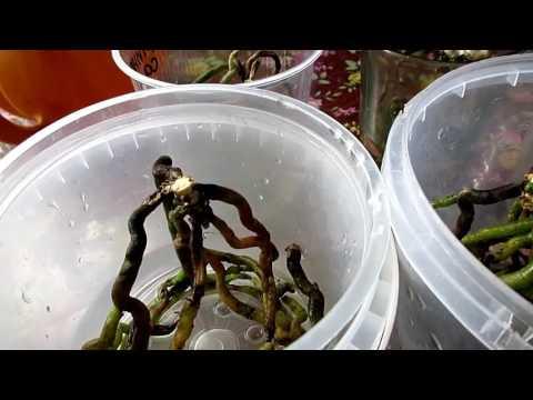 Как вырастить орхидею из корня