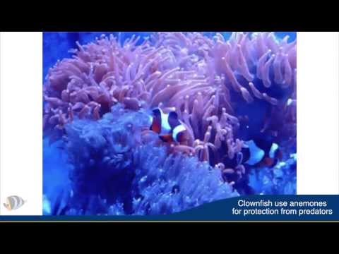 Tips To Get A Clownfish To Use A Host Anemone