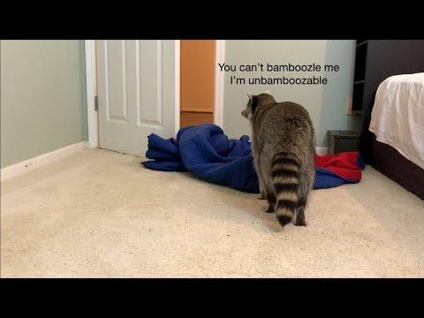 I Bamboozle my Pet Raccoon