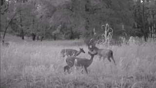 Alabama Whitetail Bucks Speed Dating Video X3