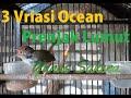 Tiga Variasi Ocehan Prenjak Lumut Ciblek Lumut Prenjak Ijo  Mp3 - Mp4 Download