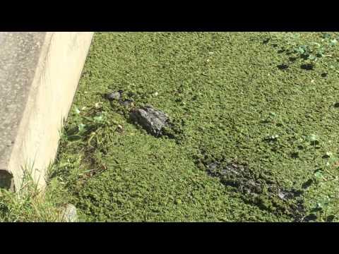 American Alligator in Merritt Island Florida Canal 4k UHD Video