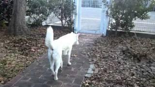 庭を散歩する紀州犬「安兵衛号」です。 フィニッシュはおすまし顔です。