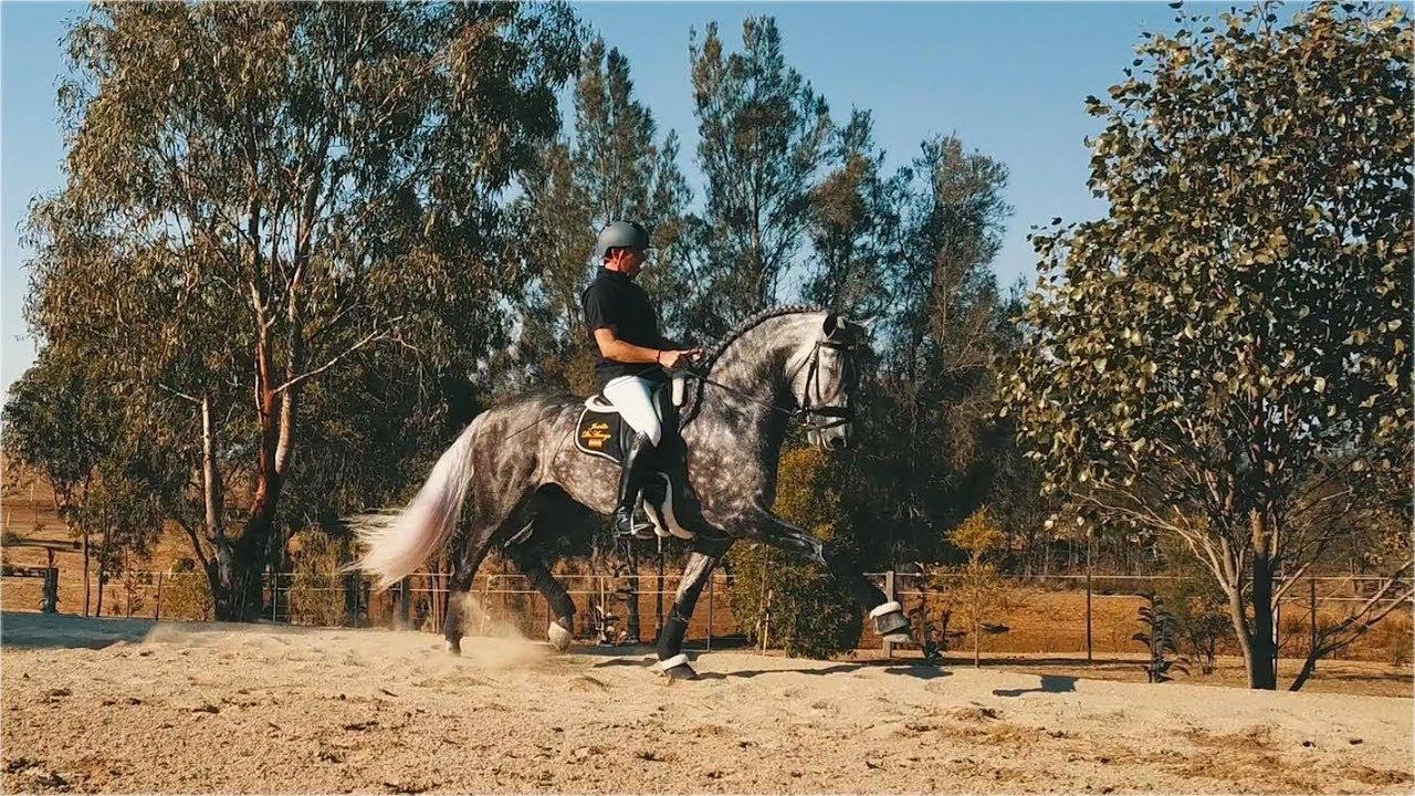 Sport Horse Films Australia - STALLION PORTFOLIO | Joselito De Arroyo