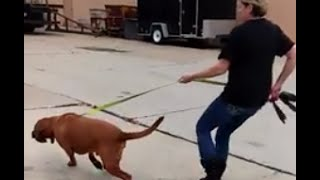 Bloodhound Fights Leash SafeCalm Dog Training Collar Works Instantly BIG CHUCK MCBRIDE
