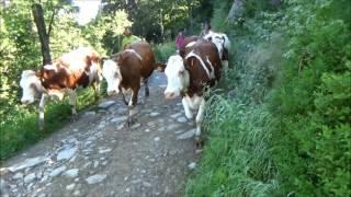 Attention course de vaches en transhumance...