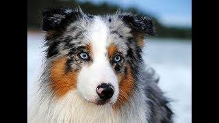 Выбор собаки? Характеристика Австралийской овчарки (Аусси, Осси)