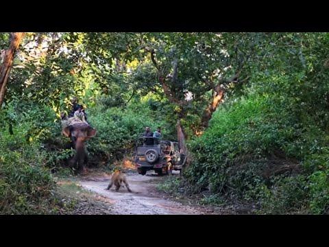 Tiger attacks elephant in Jim Corbett (Dhikala) on 17th Nov'16... 2.7M views... NEVER SEEN BEFORE