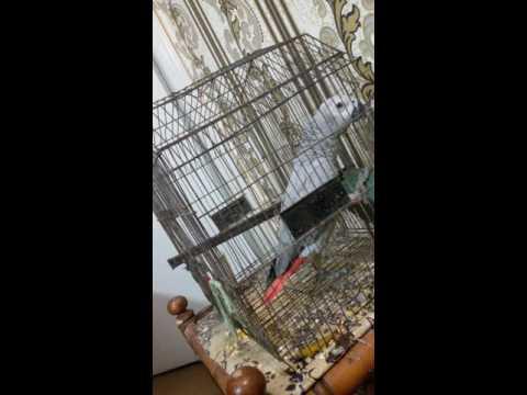 Sindhi parrot