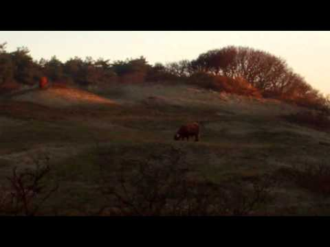 Verwondering/Mystery 98: Idyllische Schoonheid Schotse Hooglander/ Scot Cattle/10 December 10th 2013