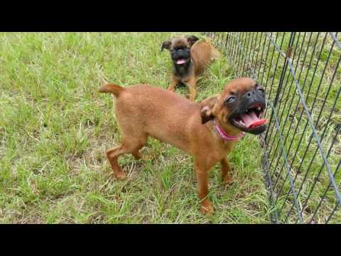 Smooth Coat Brussels Griffon puppies for sale in Texas