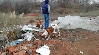 На заброшке собаки не страшны. Американский бульдог Серёга