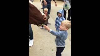 Feeding the cow at Tilden Little Farm
