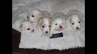 Coton Puppies For Sale - Foxy 7/20/20