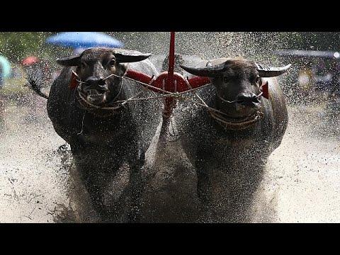 Buffalos plough through eastern Thailand in annual race