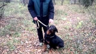 ДРЕССИРОВКА И ВОСПИТАНИЕ РОТВЕЙЛЕРА. #7 Собака тянет,что делать