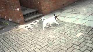 Oscar Doing The Jack Russell Three Leg Stroll