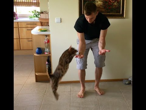 Bengal cat trick- The hand stand / The pedestal with a jump