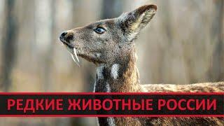 🐲 КАБАРГА, ПОДКОВОНОС, СИВУЧ, МАНУЛ и другие животные России