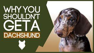 DACHSHUND! 5 Reasons You SHOULD NOT GET a Dachshund Puppy!