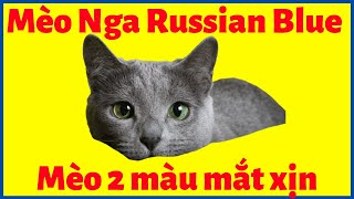 Mèo Nga Russian BĮue giá bąo nhiêu? Mua, Bán ở đâu tại Hà Nội, TPΗCM có giấy và bảo hành