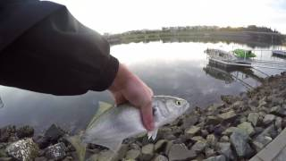 TOPWATER FISHING FOR WINTER TAILOR NSW