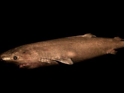 Greenland shark is world