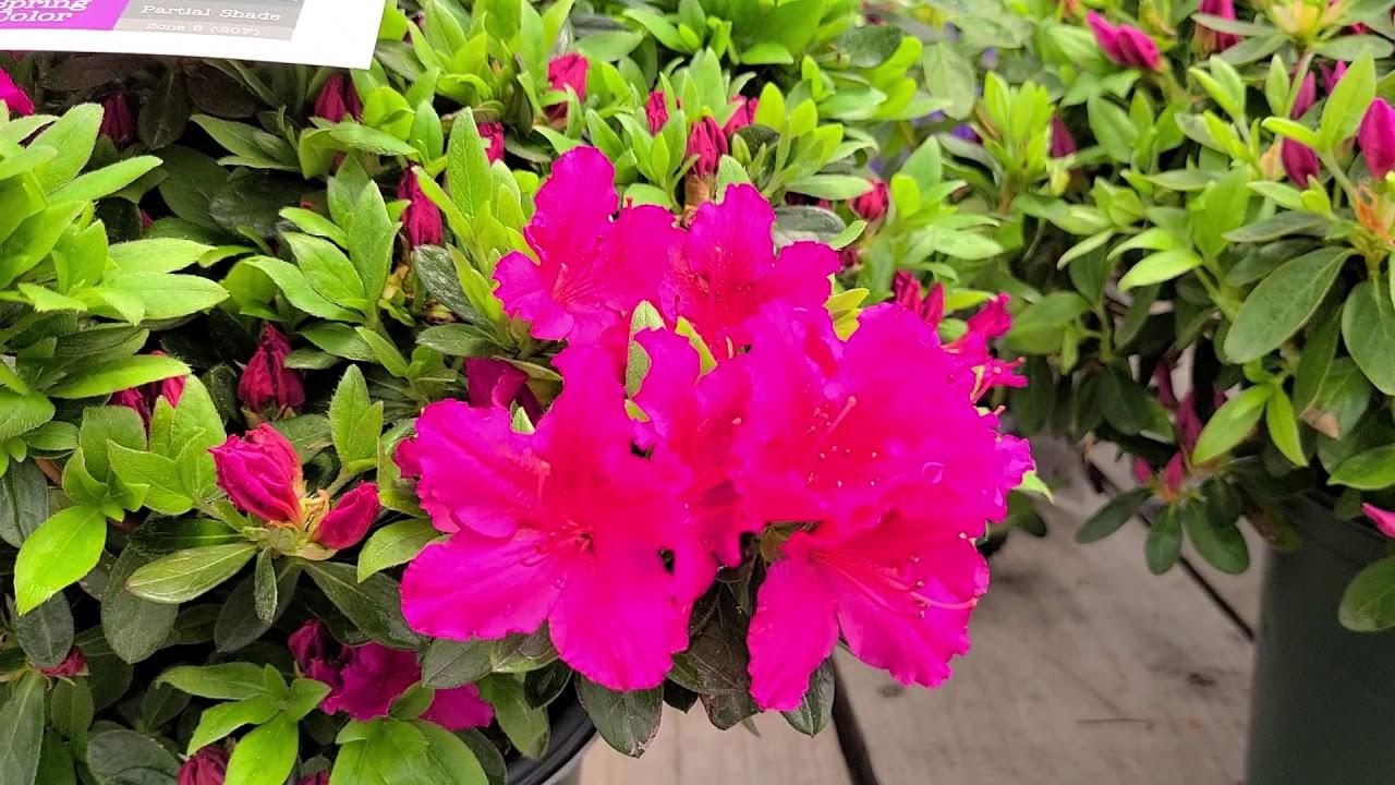 Azalea Girard S Fuchsia Evergreen Azalea Bright Spring