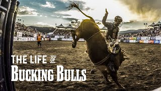 The Life of Bucking Bulls