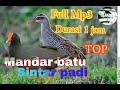 Suara pikat Kolaborasi burung mandar batu dan sintar padi