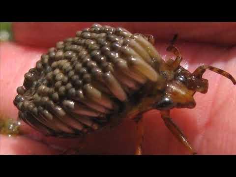 очень опасное насекомое