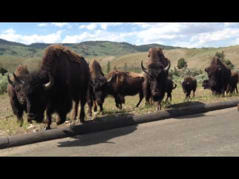 Huge herd of Bison cross the road at Yellowstone!