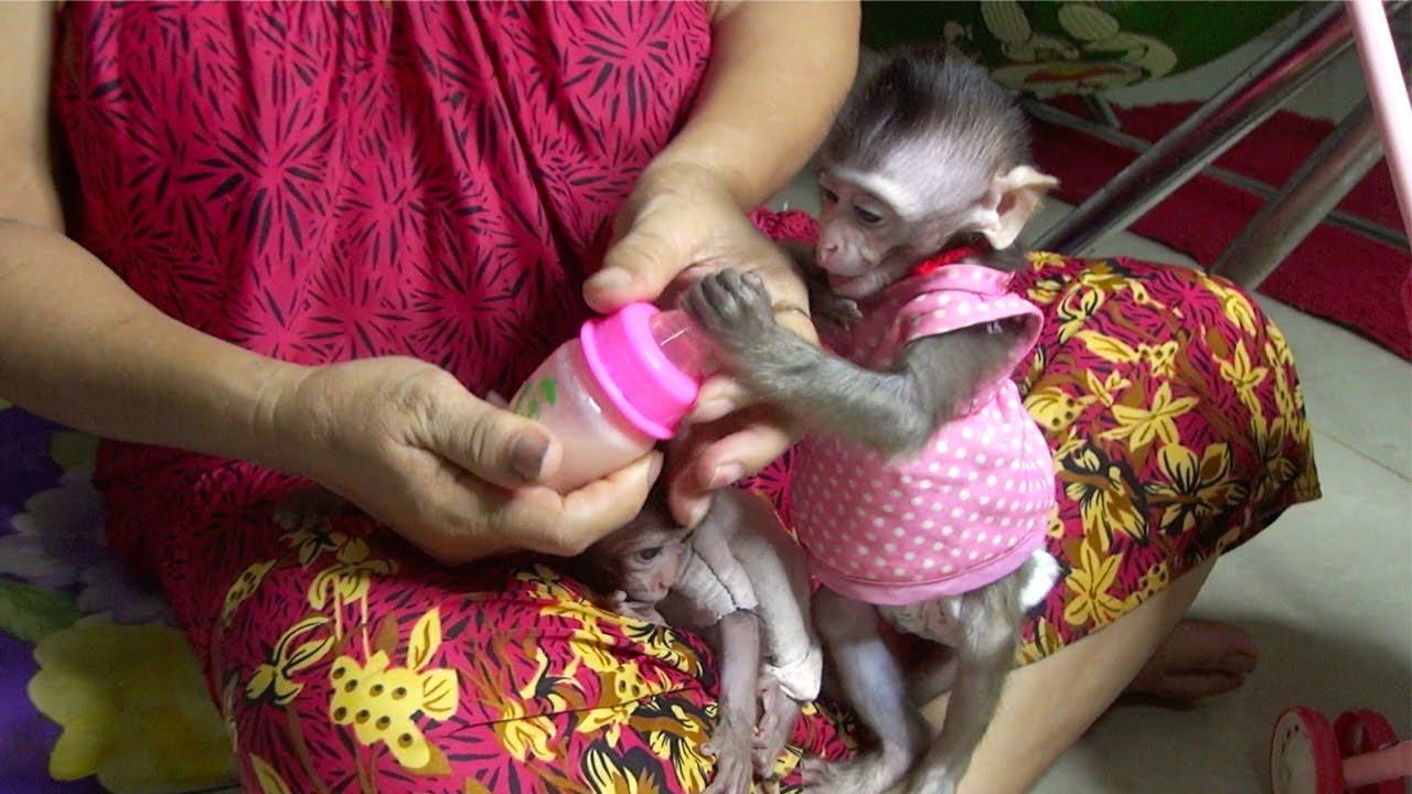 Monkey Baby Nita Hungry Drink Milk So Much Monkey Baby Poy Sleeping