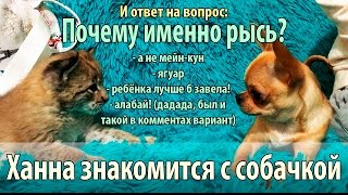 Котёнок рыси знакомится с собакой породы чихуа и играется с ней