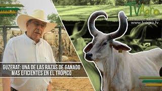 Guzerat: Una de las Razas de Ganado mas Eficientes en el Tropico  - TvAgro por Juan Gonzalo Angel thumbnail
