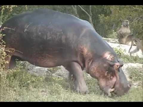 Baboons and hippo at Djuma, January 30, 2013