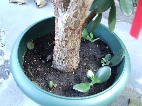 Денежное дерево  Ответы на вопросы по выращиванию денежного дерева