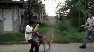 "Manalo K9 Protection Dog Trainee ""turco"" (vintage Video)"