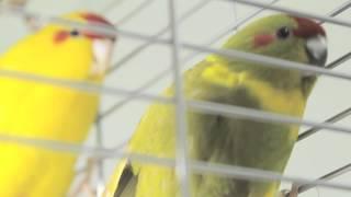 Все О Домашних Животных: Бегающий Попугай